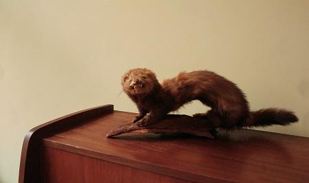 opgezette hermelijn 6